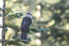 Gray Jay Bird In Forest Pine träd arkivfoto