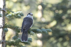 Gray Jay Bird In Forest Pine Trees Stock Photo