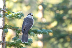 Gray Jay Bird in Tree Royalty Free Stock Photos