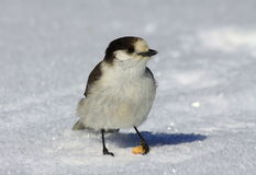 Gray Jay Close View Royalty Free Stock Photo