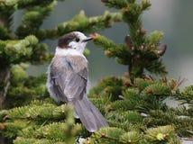 Gray Jay dans un arbre Photos libres de droits