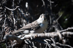 Gray jay on a dried tree brunch Stock Photos