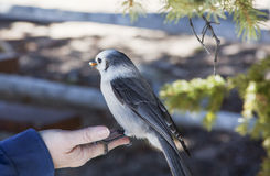 Gray Jay eating a peanut out of the hand of a woman Royalty Free Stock Photography