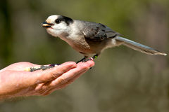 Gray Jay. Eating seeds from an out-stretched hand royalty free stock photos