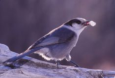 A Gray Jay enjoys a piece of suet. The Gray Jay, otherwise known as the Canadian Jay is found in the northern regions of the US and almost all of Canada. They Royalty Free Stock Image
