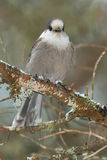 Gray Jay. Perched on a branch stock image