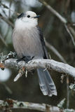 Gray Jay. Perched on a branch stock photo
