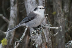 Gray Jay. Perched on a branch royalty free stock photo