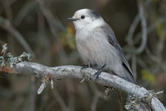 Gray Jay. Perched on a branch royalty free stock photos