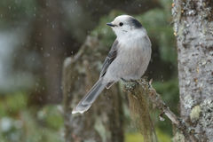 Gray Jay. Perched on a branch stock photography