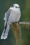 Gray Jay. Perched on a branch royalty free stock images