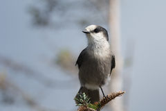 Gray Jay perched on a branch. Royalty Free Stock Images
