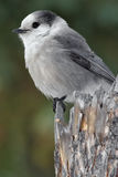 Gray Jay Stock Photography