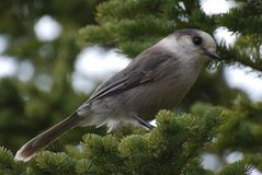 Gray Jay perched in a tree Royalty Free Stock Image