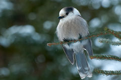 Gray Jay. Perched on a tree branch royalty free stock photos