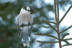 Gray Jay. Perched on a tree branch stock photo