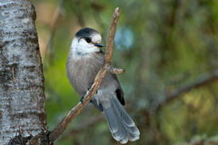 Gray Jay Stock Photos
