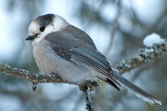Gray Jay Royalty Free Stock Photos