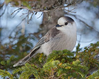 Gray jay Stock Images