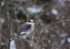 A Gray Jay perches on a branch in light snowfall stock photography