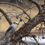Gray Jay Perisoreus canadensis Royalty Free Stock Photography