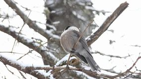 A Gray Jay, Perisoreus canadensis, as snow falls in Algonquin in Ontario stock video footage