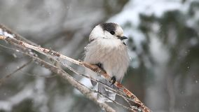 A Gray Jay, Perisoreus canadensis, in a blizzard in Algonquin in Ontari stock video footage