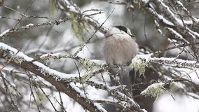 A Gray Jay, Perisoreus canadensis, in falling snow in Algonquin in Ontario stock video footage