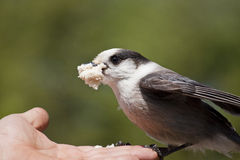 Gray Jay (Perisoreus canadensis) Feeding from Hand. Wild gray jay (Perisoreus canadensis) perched on someone's hand and feeding Royalty Free Stock Image