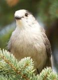 Gray Jay - Perisoreus canadensis Royalty Free Stock Images