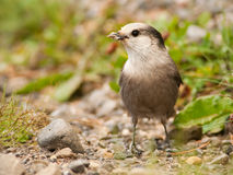 Gray Jay (Perisoreus canadensis) with insects in its beak.  Kananaskis, Alberta, Canada. Stock Image