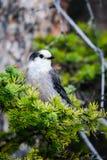 Gray Jay (Perisoreus canadensis) Stock Photo