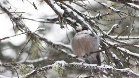 A Gray Jay, Perisoreus canadensis, puffs his feathers in Algonquin in Ontario stock video
