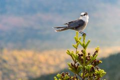 Gray Jay Perisoreus canadensis. At the top of Megantic Mount in the Quebec Province, Canada royalty free stock photos