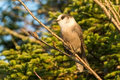Gray Jay Perisoreus canadensis. At the top of Megantic Mount in the Quebec Province, Canada royalty free stock photography