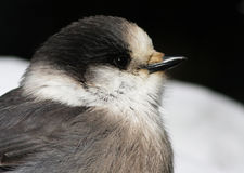 Gray Jay portrait Royalty Free Stock Image