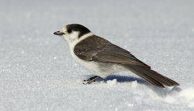 Gray Jay in the Snow Royalty Free Stock Photos