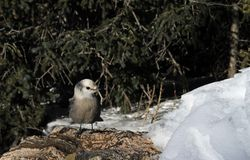 Gray Jay in the Snow Royalty Free Stock Photography