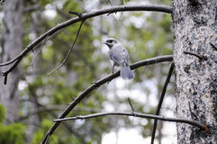 Gray Jay in a tree. A Gray Jay blending in the trees Stock Photo