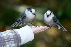 Gray Jay Royalty Free Stock Images