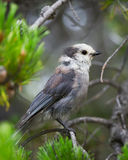 Gray Jay in the Wild Stock Photography
