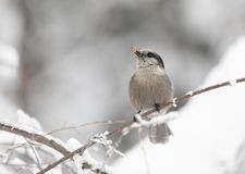 Gray Jay Winter with Food stock photography