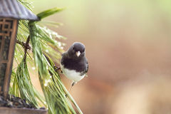 Gray Junco Bird Perched in Pine Needles bu Feeder Royalty Free Stock Images