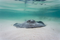 Gray, juvenile southern sting ray propels itself along sea bed Stock Photo