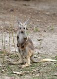 Gray kangaroo Stock Images