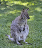 Gray  Kangaroo Royalty Free Stock Image