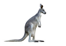 Gray kangaroo stock images