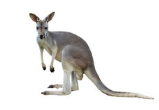 Gray kangaroo. Isolated on a white background Royalty Free Stock Photography