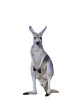 Gray kangaroo Royalty Free Stock Images
