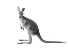 Gray kangaroo isolated Stock Images